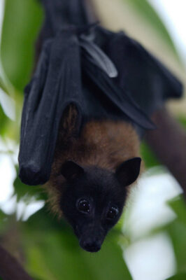 Photo: An Indian fruit bat (Cynopterus sphinx) at the Sedgwick County Zoo, Wichita, Kansas.