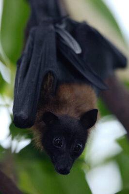 Photo: An Indian fruit bat (Cynopterus sphinx) at the Sedgwick County Zoo, Wichita, Kansas.