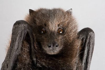 Photo: A Rodrigues fruit bat (Pteropus rodricensis) at the Lincoln Children's Zoo, Lincoln, Nebraska.