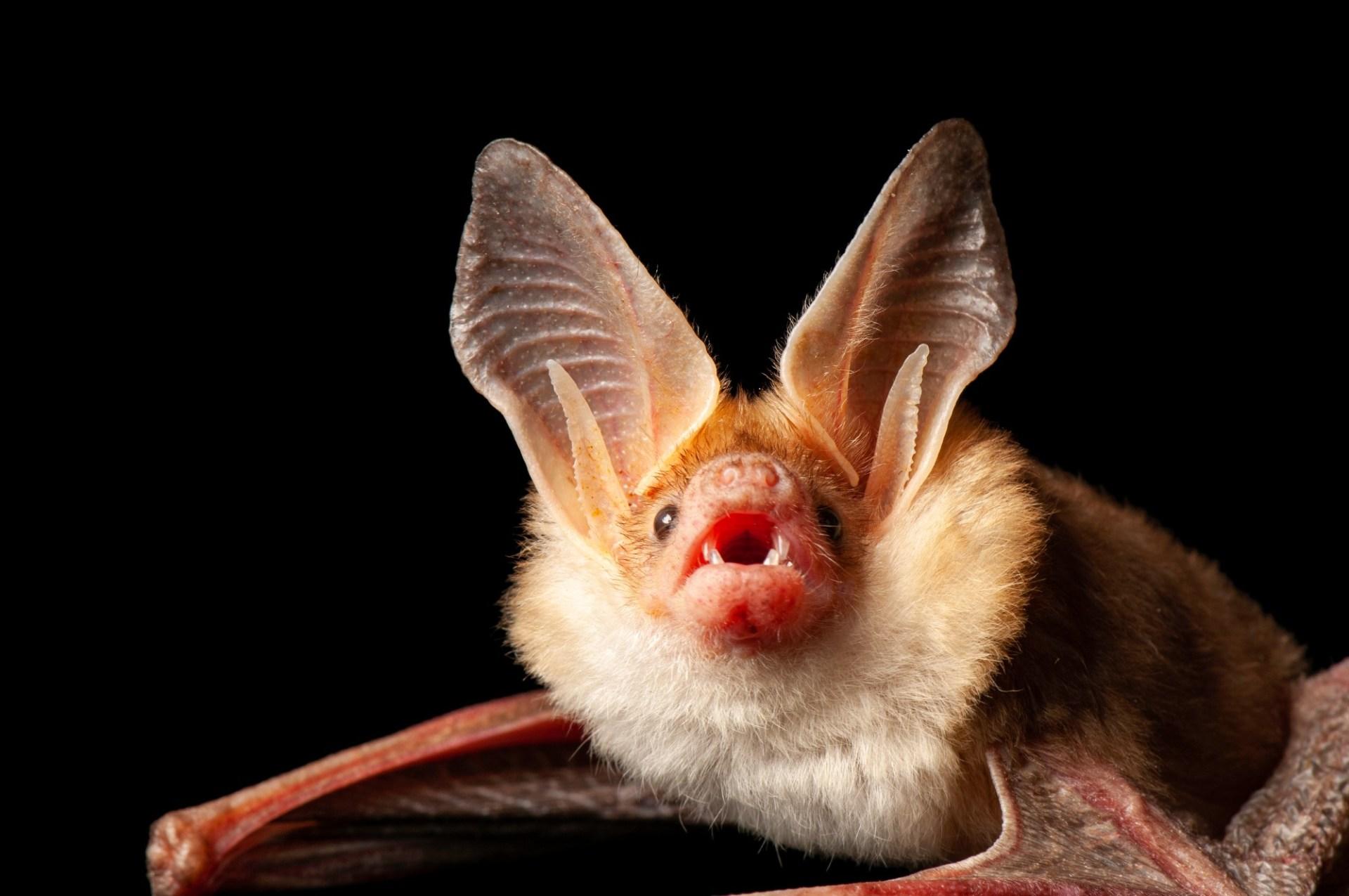 A pallid bat (Antrozous pallidus) at the North Carolina Zoo, Asheboro, North Carolina.