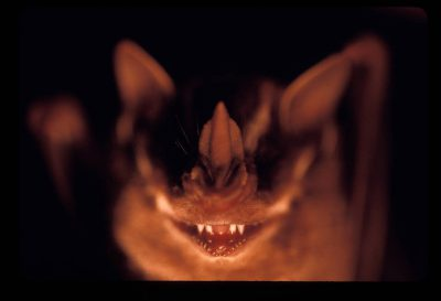Photo: A leaf-nosed bat (Phyllostomidae) in Brazil's Pantanal region.