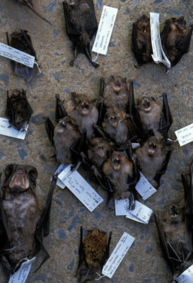 Photo: Ten different species of bats await cataloging by biologists on a collecting trip to the Brazilian Pantanal, one of the richest ecosystems in South America.