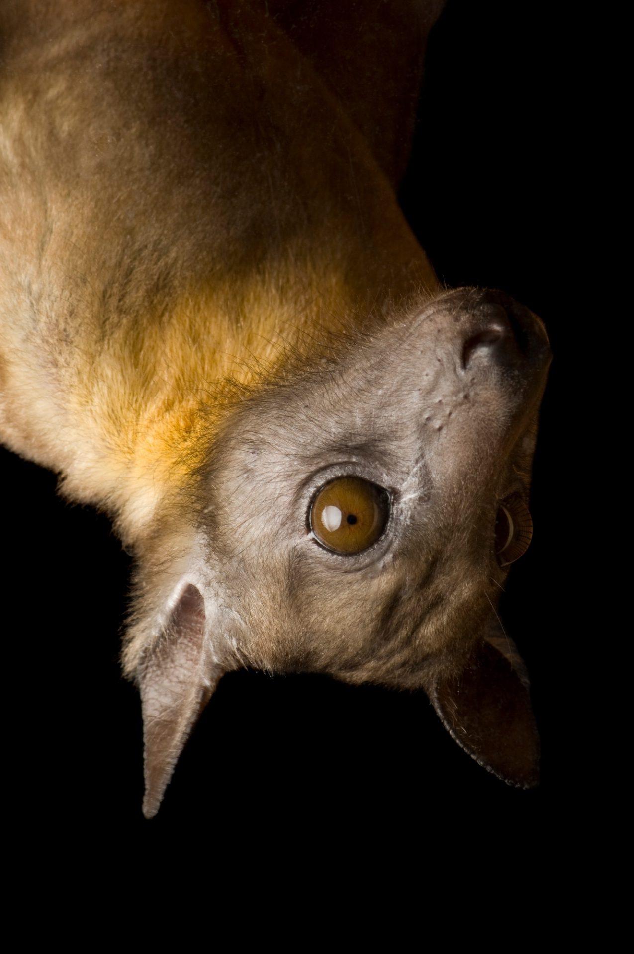 Photo: A straw-colored fruit bat (Eidolon helvum) at the Tulsa Zoo, Tulsa, Oklahoma.