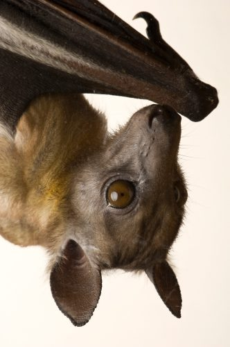 Photo: A straw-colored fruit bat (Eidolon helvum) at the Tulsa Zoo, Tulsa, Oklahoma.