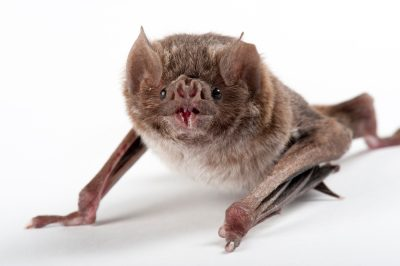 A common vampire bat (Desmodus rotundus) at the Buffalo Zoo, Buffalo, New York.