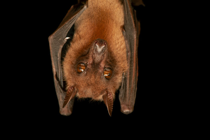 An Angolan fruit bat (Lissonycteris angolensis) from Bioko Island, Equatorial Guinea.
