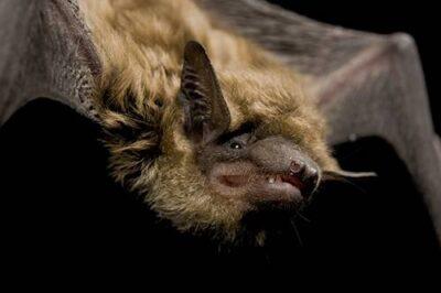 A big brown bat (Eptesicus fuscus fuscus) at Nebraska Wildlife Rehab.