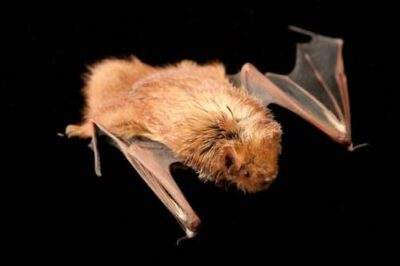 Picture of an eastern red bat, Lasiurus borealis.