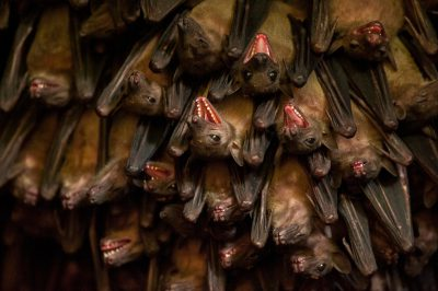 Photo: Egyptian fruit bats at a huge bat cave near Jacana Lodge in the Maramagambo Forest.