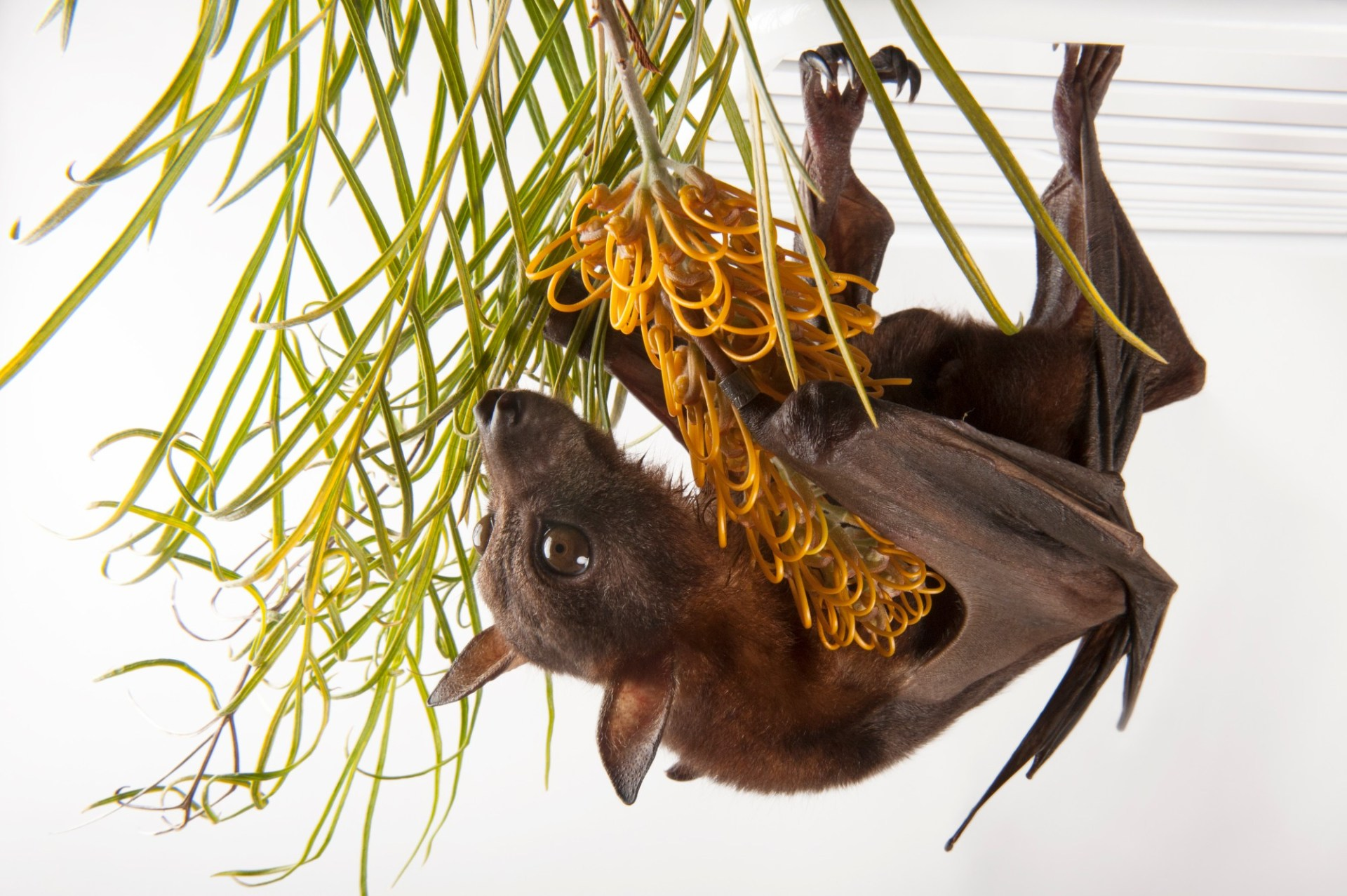 Little red flying fox (Pteropus scapulatus) from the Australian Bat Clinic and Narrow Leaf Retreat.