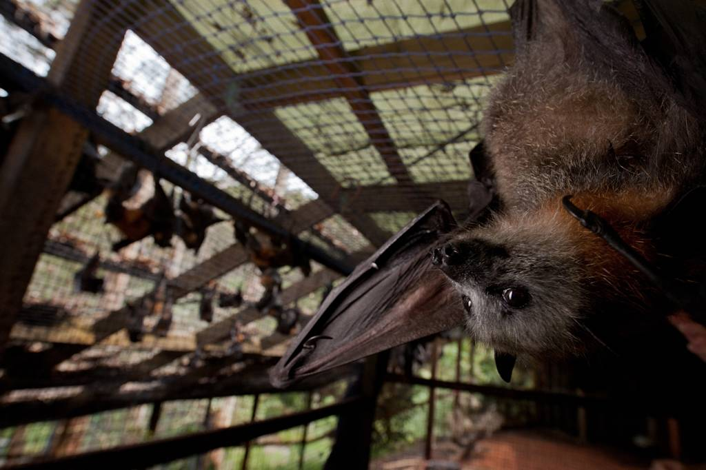 A vulnerable grey-headed flying fox (Pteropus poliocephalus) at the Australian Bat Clinic. Bats act as pollinators and seed dispensers, however bats are in serious decline around Australia largely due to entanglement in fruit tree netting.