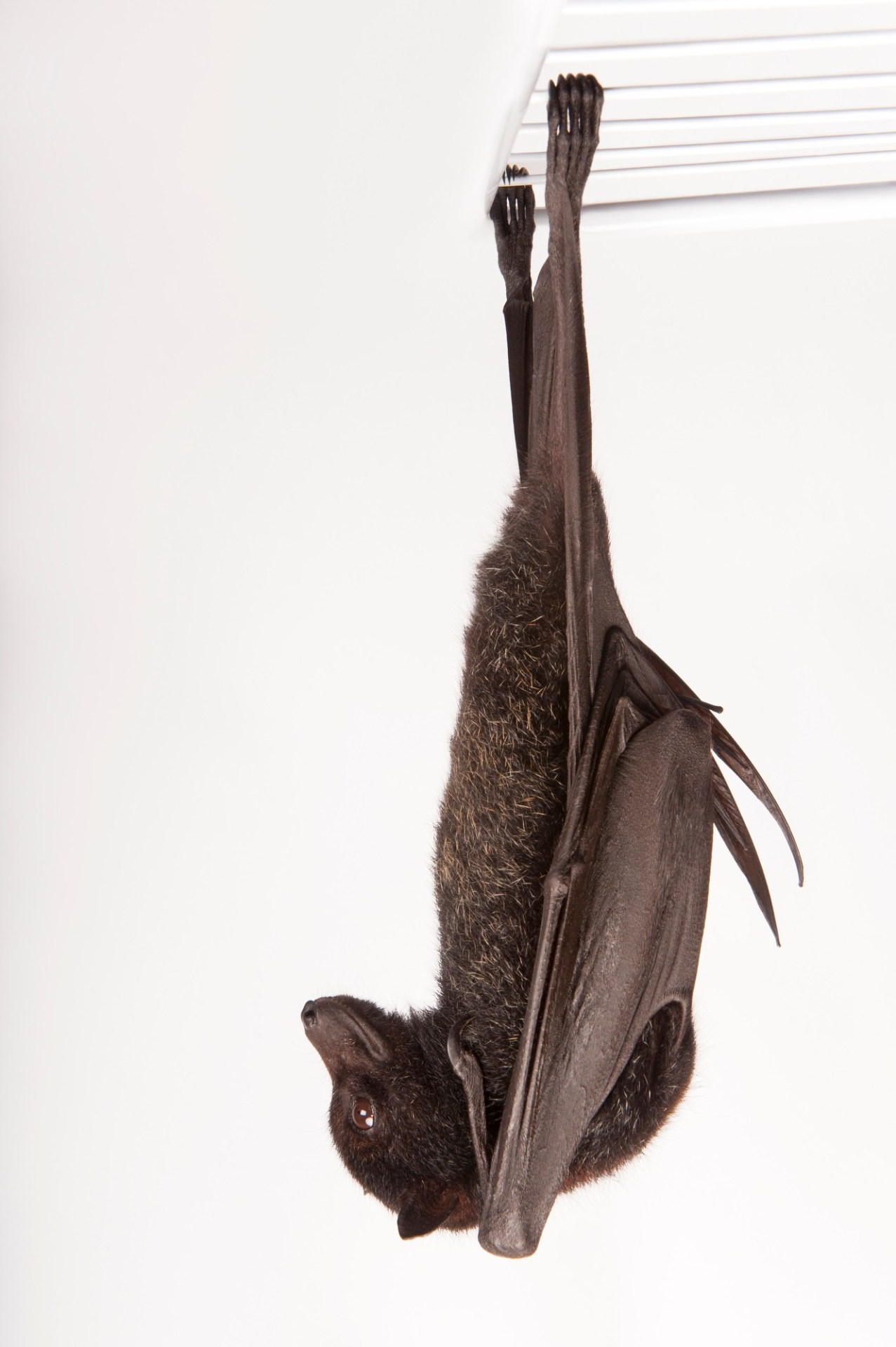 A black flying fox (Pteropus alecto) at the Australian Bat Clinic. Bats act as pollinators and seed dispensers, however bats are in serious decline around Australia largely due to entanglement in fruit tree netting.
