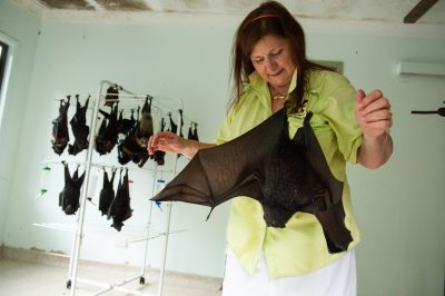 Photo: The owner of the Australian Bat Clinic, with flying foxes that she is helping to rehabilitate.