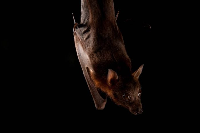 Little red flying fox (Pteropus scapulatus) at the Australian Bat Clinic. Bats act as pollinators and seed dispensers, however bats are in serious decline around Australia largely due to entanglement in fruit tree netting.