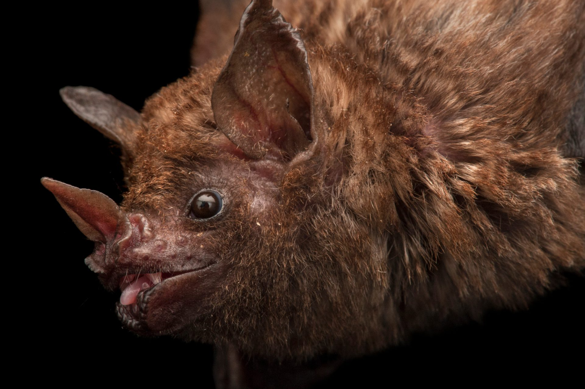 Seba short-tailed fruit bat (Carollia perspicillata) at the Lincoln Children's Zoo