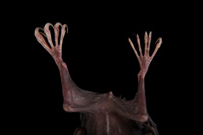 The feet of a greater bulldog bat (Noctilio leporinus) at the Omaha Zoo.
