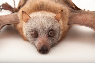 A little golden-mantled flying fox (Pteropus pumilus) at the Omaha Zoo.