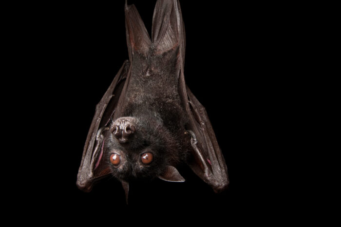 A large flying fox (Pteropus vampyrus), also known as the Greater Flying Fox or Malaysian Flying Fox at the Columbus Zoo.