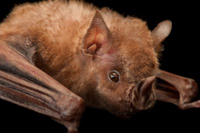 A Jamaican fruit bat (Artibeus jamaicensis) at the Houston Zoo.