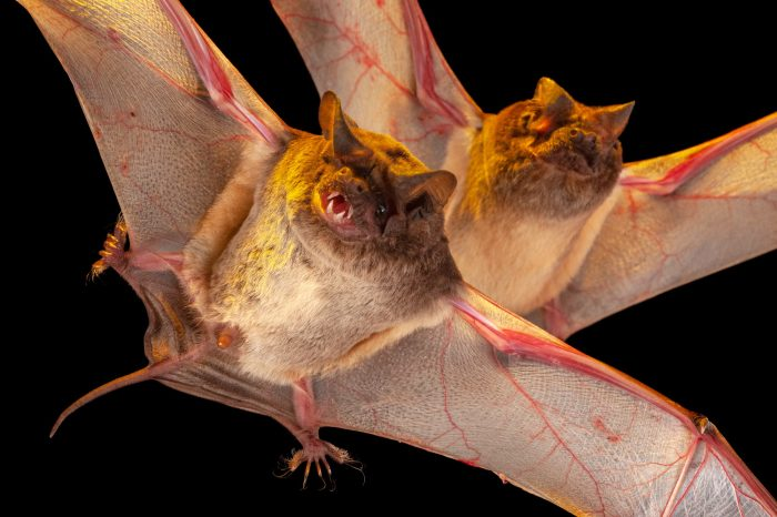 Little free-tailed bats (Chaerephon pumilus) from Chitengo Camp in Gorongosa National Park.