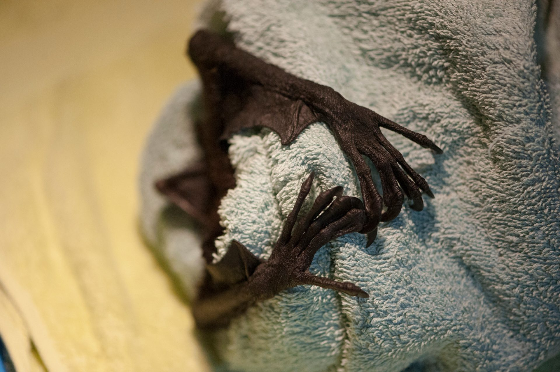 The fingers from a black flying fox (Pteropus alecto) during surgery.