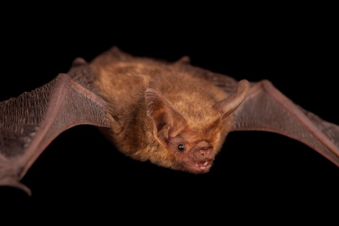 Photo: A gould's long-eared bat (Nyctophilus gouldi) at the Australian Bat Clinic.