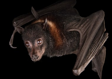 An island flying fox (Pteropus hypomelanus) at the Indianapolis Zoo.