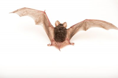 Picture of a Brazilian free-tailed bat (Tadarida brasiliensis) at Night Wings Inc., in Lubbock, Texas.