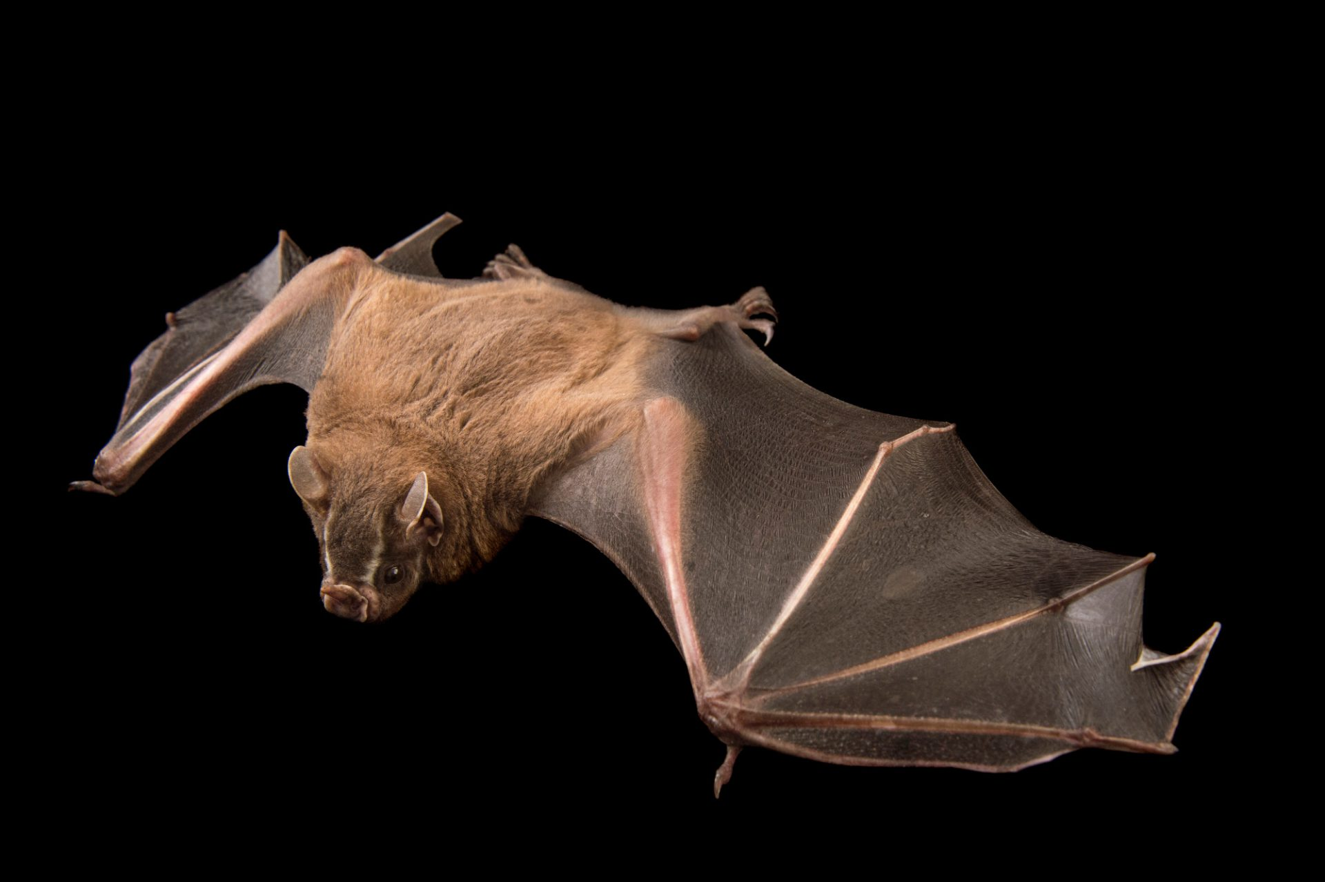 Picture of a greater fruit-eating bat (Artibeus lituratus) at the Lubee Bat Conservancy in Gainesville, Florida.