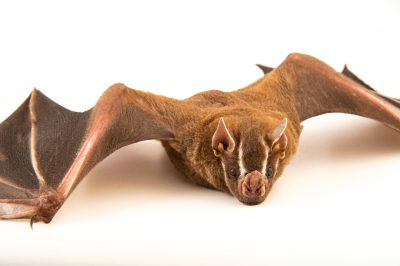 Greater Fruit Bat