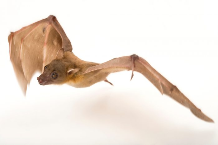 Picture of a lesser short-nosed fruit bat (Cynopterus brachyotis) at the Lubee Bat Conservancy in Gainesville, Florida.