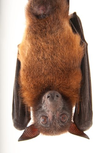 An Indian flying fox (Pteropus giganteus) at the Omaha Henry Doorly Zoo, in Omaha, Nebraska.