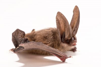 Picture of a Townsend's big-eared bat (Corynorhinus townsendii) at the Sulphur Creek Nature Center.