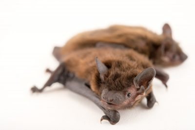 Picture of two evening bats (Nycticeius humeralis) at a private collection in Oklahoma.