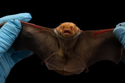 Picture of a female Eastern red bat (Lasiurus borealis) in Florida.