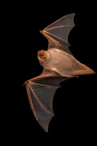Picture of a female Eastern red bat (Lasiurus borealis) in Florida.