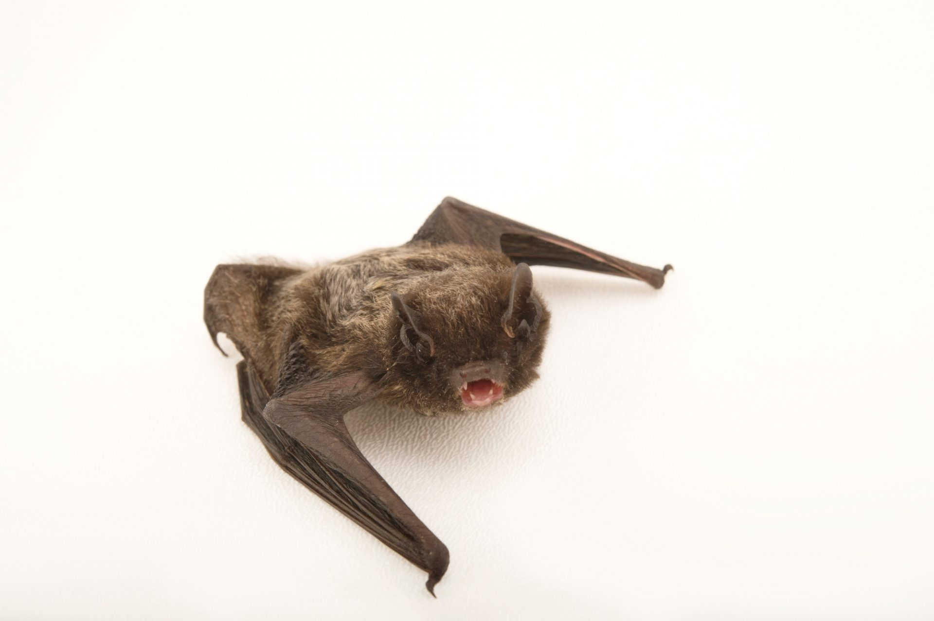 Picture of a silver-haired bat (Lasionycteris noctivagans) at the Wildlife Rehabilitation Center of Northern Utah.