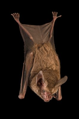 Picture of a female fringe-lipped bat, Trachops cirrhosus, at the Smithsonian Tropical Research Institute.