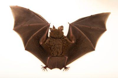 Picture of a female fringe-lipped bat, Trachops cirrhosus