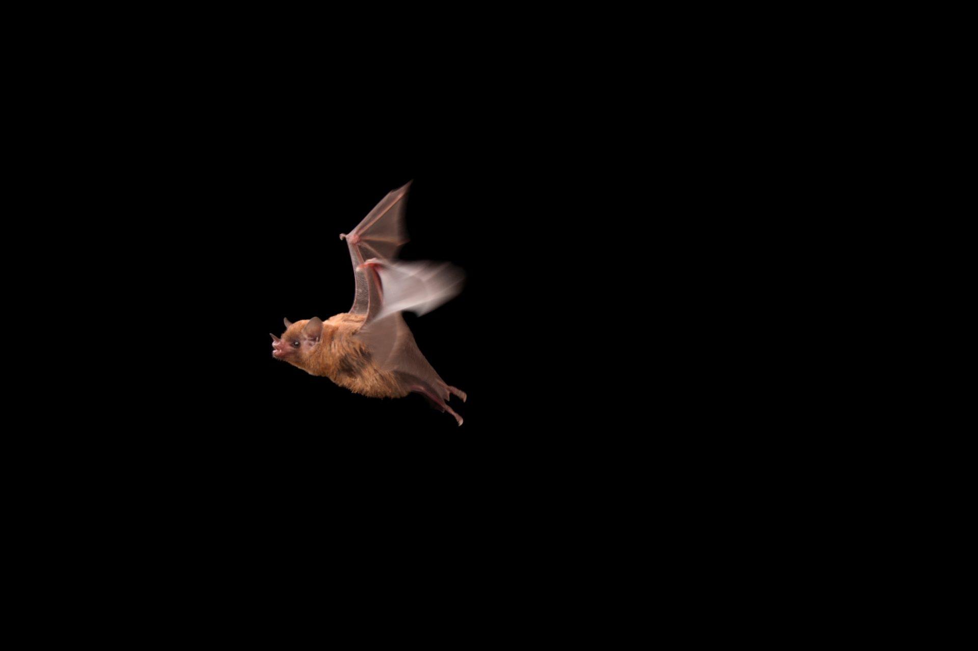 A Pallas's long-tongued bat (Glossophaga soricina) at the Houston Zoo.