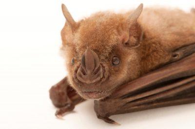 A Jamaican fruit bat (Artibeus jamaicensis) at the Houston Zoo.
