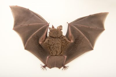 Picture of a female fringe-lipped bat (Trachops cirrhosus) from the wild in Gamboa, Panama.