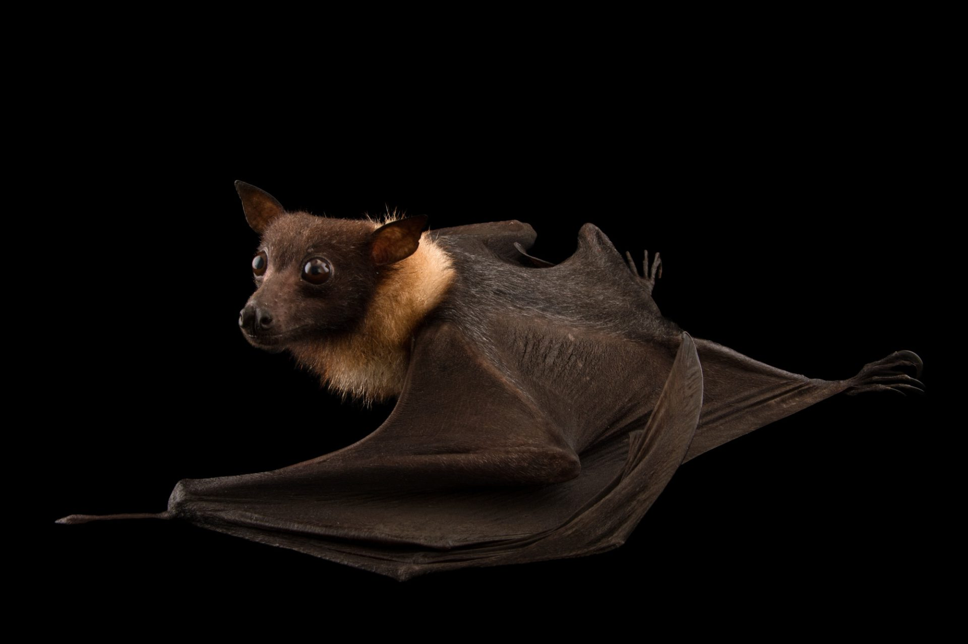 Photo: Lyle's flying fox (Pteropus lylei) at the Budapest Zoo.