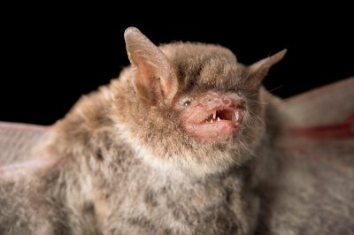 Photo: Southeastern myotis (Myotis austroriparius) at Big Bend Wildlife Management Area.