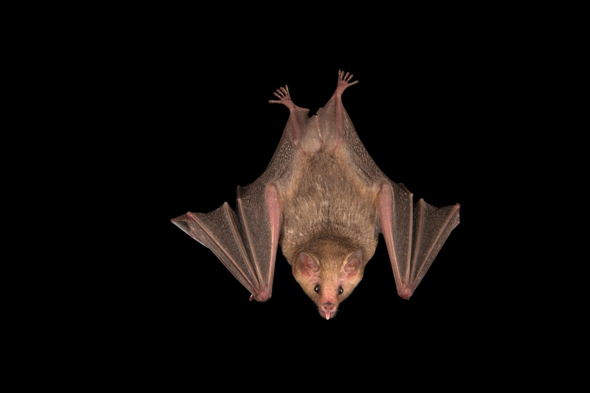 A Curaçaoan long-nosed bat or southern long-nosed bat (Leptonycteris curasoae) at the Plzen Zoo in the Czech Republic. This species is listed as vulnerable.