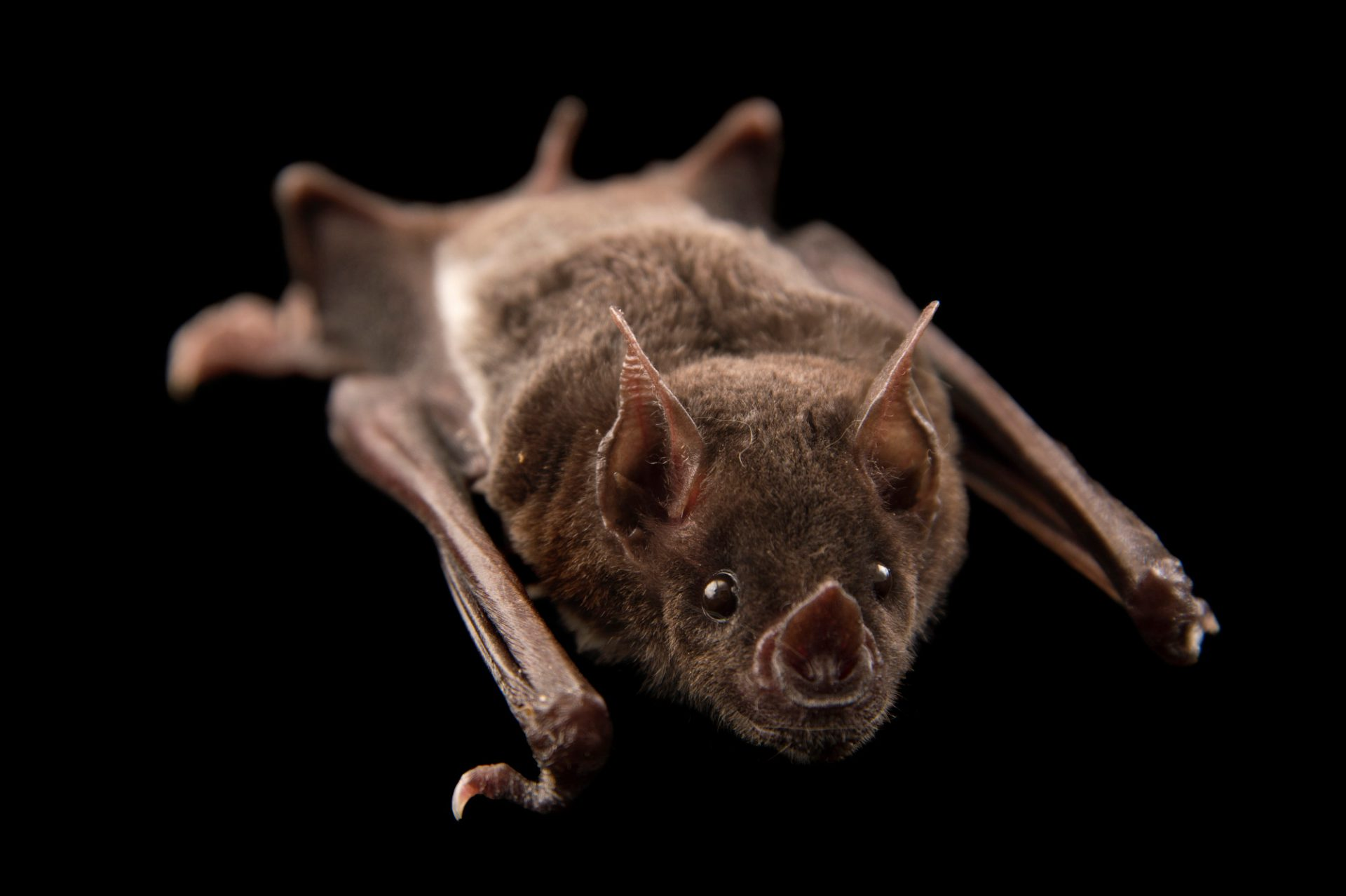 Photo: Pale spear nosed bat (Phyllostomus discolor) at the Plzen Zoo in the Czech Republic.