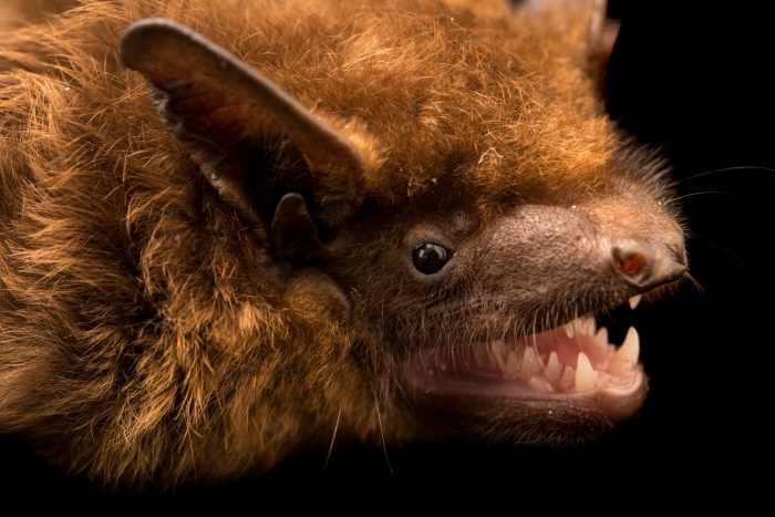 """Photo: A common noctule bat (Nyctalus noctula noctula) at Centro Fauna Selvatica """"Il Pettirosso""""."""
