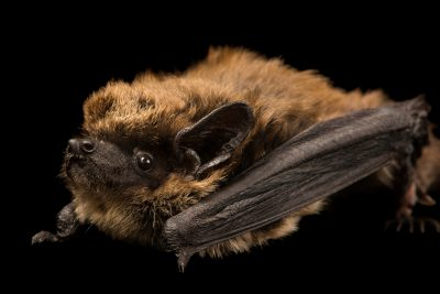 kuhl s pipistrelle bat images joel sartore