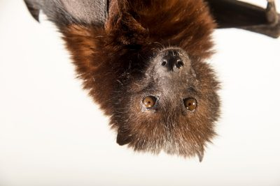 Photo: Pemba flying fox (Pteropus voeltzkowi) at the Phoenix Zoo. This animal, a female named 'Sweetheart', is likely the last of her kind in captivity.
