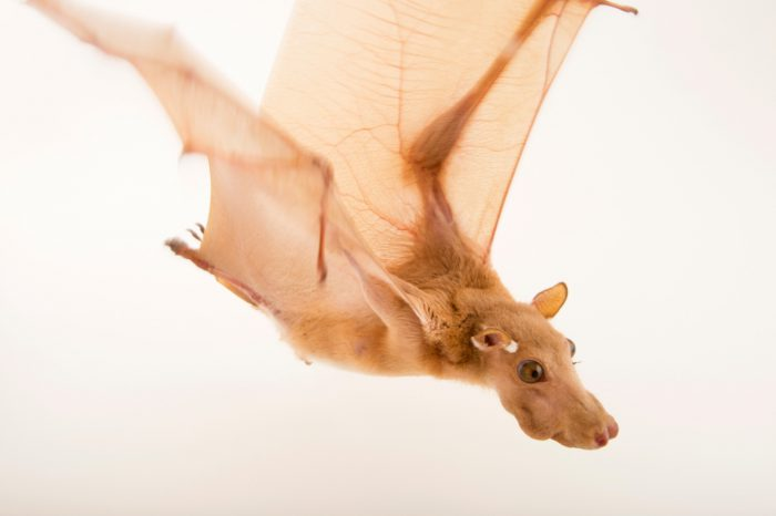 Photo: A Gambian epauletted fruit bat (Epomophorus gambianus) at the Plzen Zoo.
